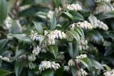 Prunus laurocerasus or Cherry Laurel