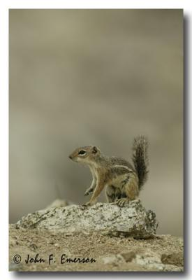 Harriss Antelope Squirrel
