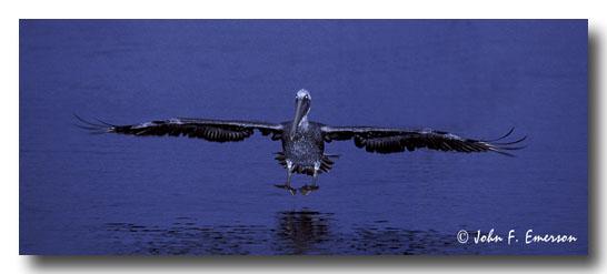 Brown Pelican, Night Landing