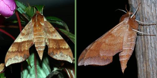 azalea-sphinx-dual-3809.jpg