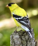 American Goldfinch male 2