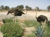 061 Ostriches in Azraq.jpg