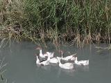 063 Geese.jpg