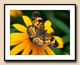 Fritillary open winged