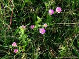 Prairie Sabatia