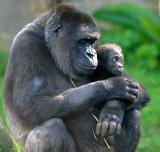 Five month old gorilla with mum