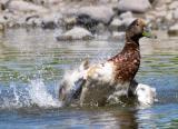 Duck_0221.jpg