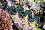 Bénitier  Tridacna tevoroa
