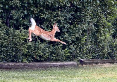 flying fawn4email.jpg