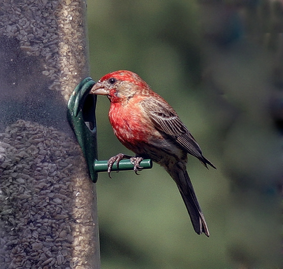 10d house finch4email.jpg