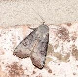 Anicla infecta - Green Cutworm Moth