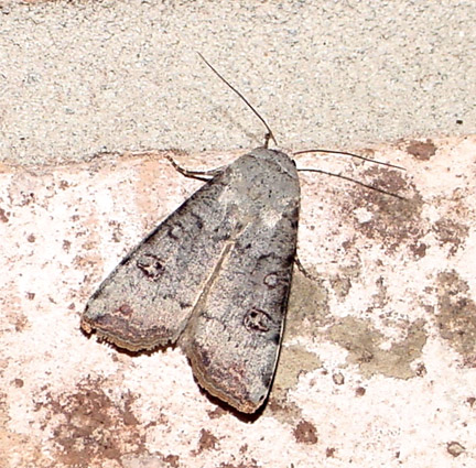 Anicla infecta - Green Cutworm Moth