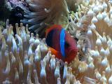 Clown Fish resting in stinging sea anenome