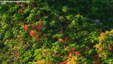 Poinciana tree on Duval Street stock photo #5117