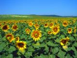 Sunflower Field, Northeast Hungary