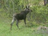 Trip to Varanger and Finland 2004 - mammals