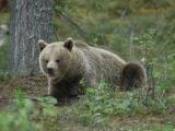 Brown Bear - Brun Bjørn
