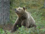 Brown Bear- Brun Bjørn
