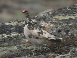 Ptarmigan  - Fjeldrype -  Lagopus mutus