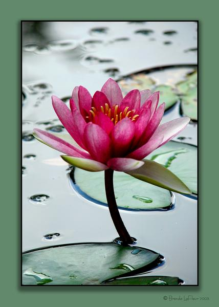 Another View of Water Lily
