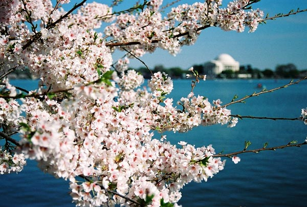 The Cherry Blossoms in Spring