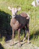 Female Rocky Mountain Big Horn Sheep