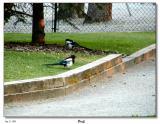 Day 1 - Lots of Black-billed Magpie's around in Banff