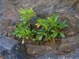Kalmia latifolia (Mountain Laurel) MP 413.2 N, 4700'