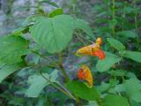 Impatiens capensis (Spotted Jewel-Weed) MP 417.2 N, ~4563'