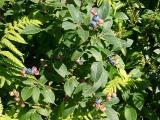 Vaccinium sp. (Blueberry) MP 419.5, ~5358'