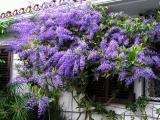 Petrea  Volubilis (Queen's Wreath) March 22.jpg
