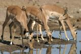 Impalas and Oxpeckers (Mashatu)