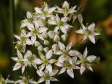 Garlic Chives Bloom