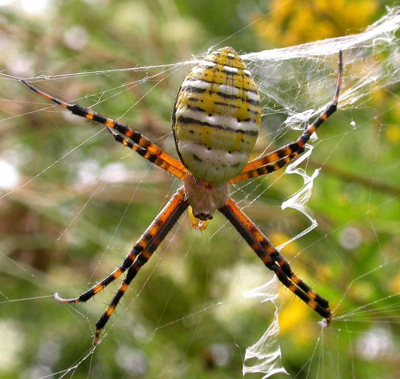 Argiope trifasciata  (top view of spider)