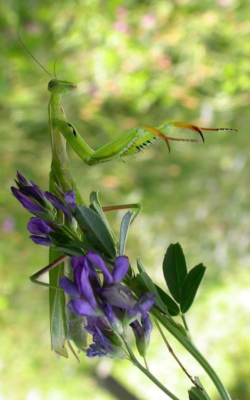 Mantis 8