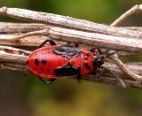Lygaeus kalmii - Small Milkweed Bug - nymph
