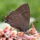 hairstreak-butterfly.jpg
