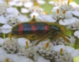 Red-blue Checkered Beetle -- Trichodes nutalli view 1