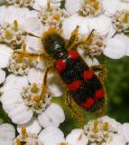 Red-blue Checkered Beetle -- Trichodes nutalli - view 3