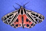 Grammia virgo - 8197 - Virgin Tiger moth