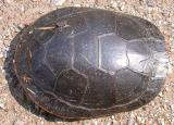 Painted turtle -- top view