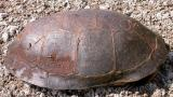 Blandings -- Smiths Falls -- male -- side view of carapace