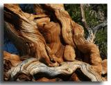 Upended Bristlecone