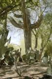 Saguaro Skeleton.jpg