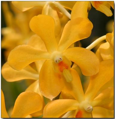 Orchid 31