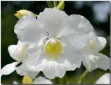 Orchid 24 - Vanda Poepoe Diana