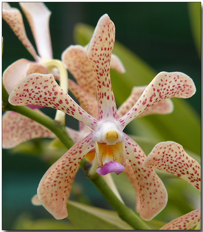 Orchid 29