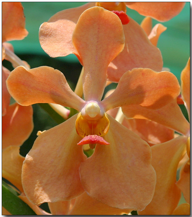 Orchid 34