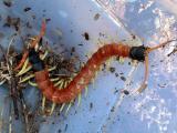 Giant Desert Centipede - Watch out. I bite!