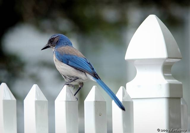 Scrub jay and fence